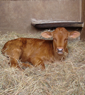 Energy Medicine On A Newborn Calf Energy Medicine With